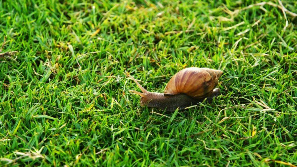 caracol de jardín, el más lento del mundo