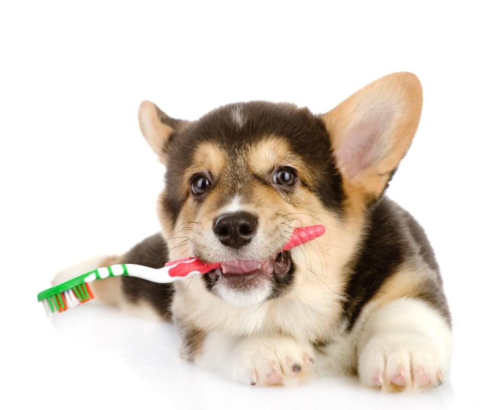 cachorros y dientes: así mudan los de leche