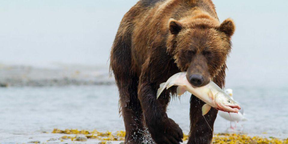 Oso grizzly, uno de los animales más fuertes del mundo