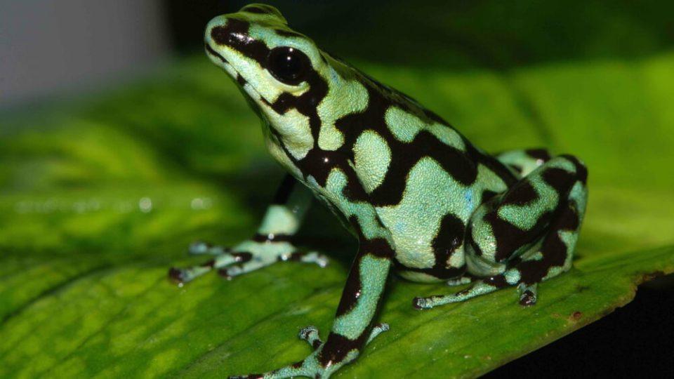 Rana dardo verde y negra, otra de las ranas más bonitas del mundo