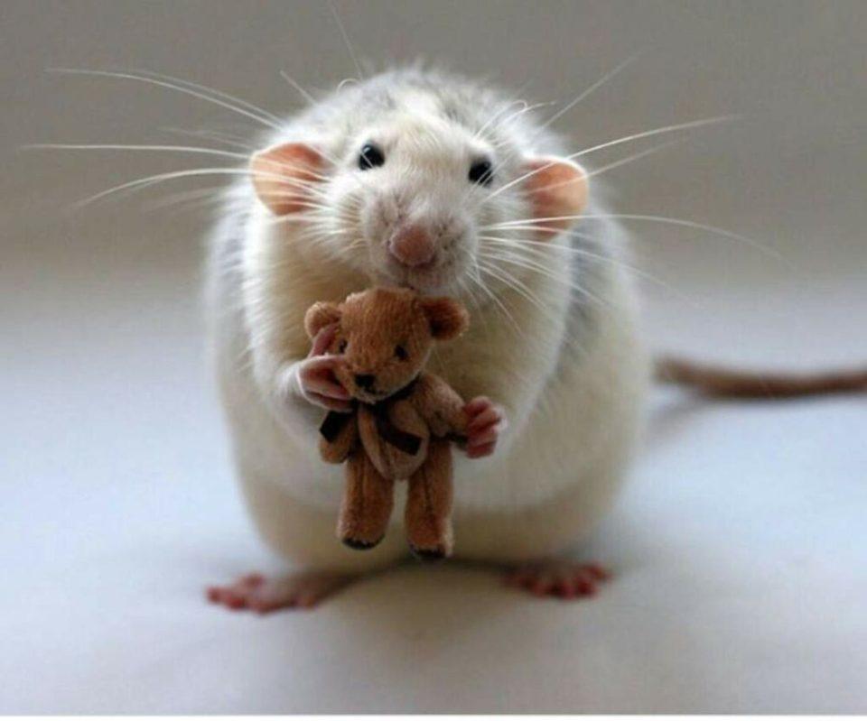 tener una rata en casa como mascota