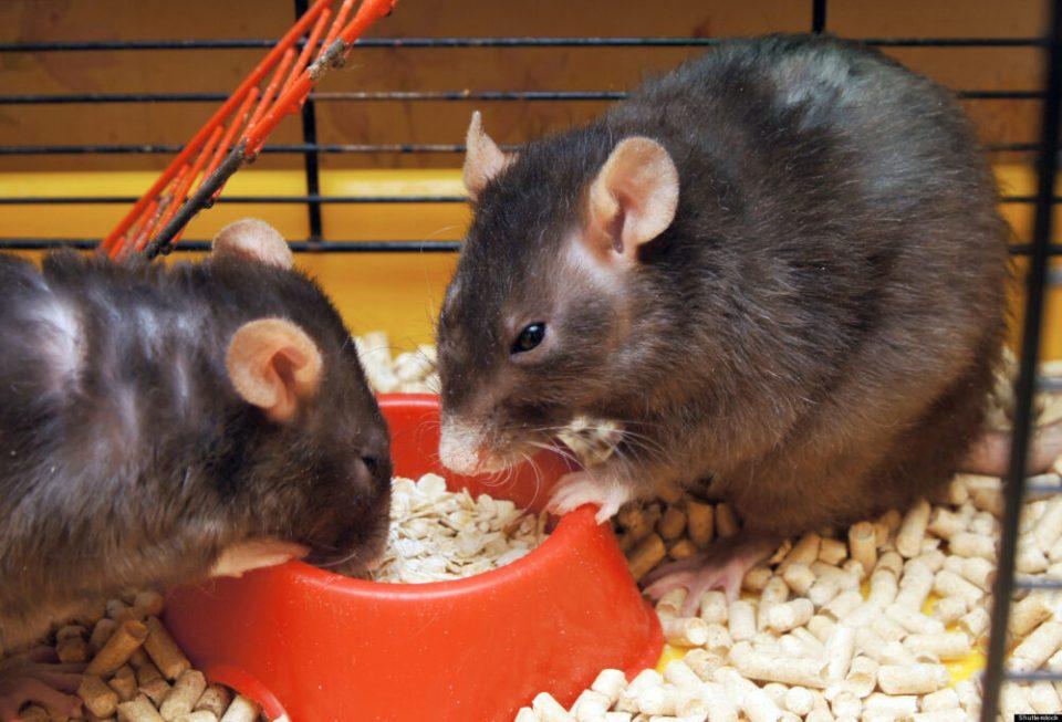 ¿Tendrías una rata como mascota?