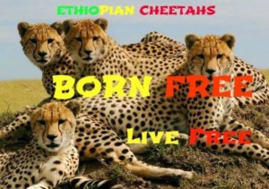 Cheetahs30