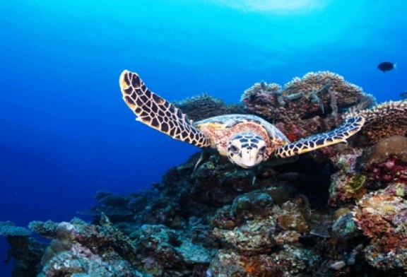 Six Senses Laamu Celebrates World Turtle Day With placement of the 100th Hawksbill turtle on the resort's marine database