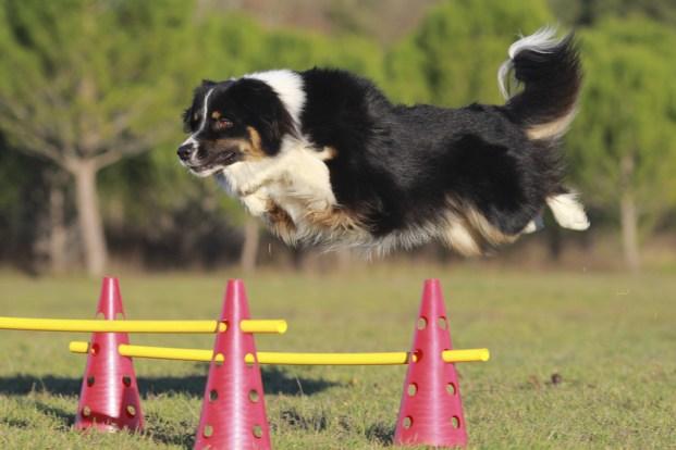 australian sheperd jumping