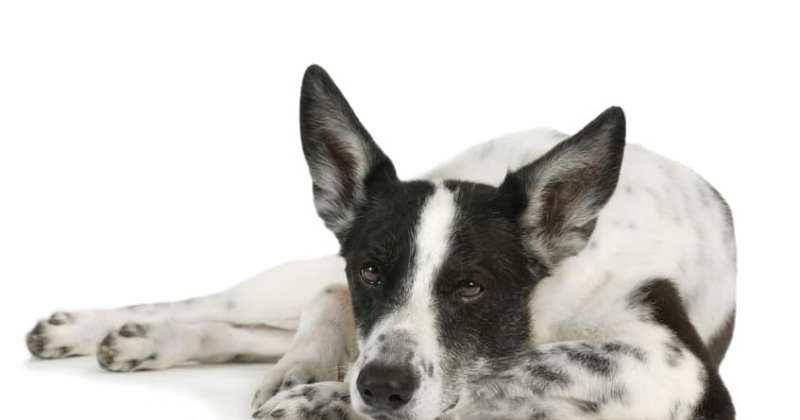 koiran viralliset röntgenkuvat