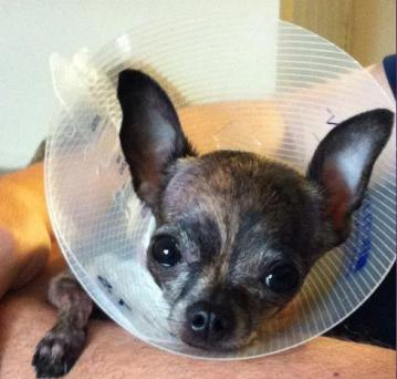 """Kiara with the """"cone of shame"""" after surgery"""