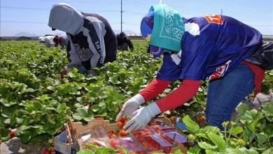 Photo of 16 ألف و500 عاملة مغربية مطلوبات في حقول الفواكه الحمراء بإسبانيا