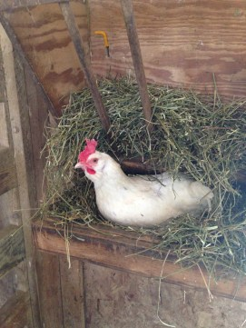 Daisy chicken hijacking the hay feeder.