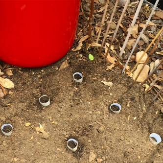 Reusing toilet rolls as seed punnets in the garden