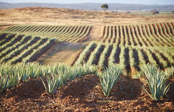 Plantation Aloès