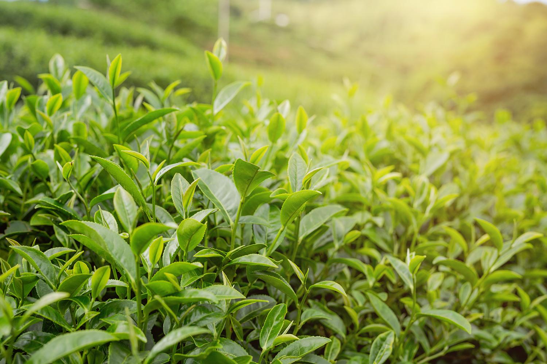 Thé vert plante médicinale