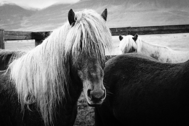soin crinière cheval