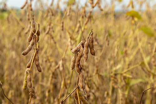 collation régime au soja