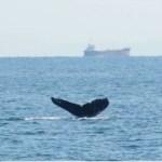 今年も別府湾にザトウクジラが遊びに!2018 2/14 [別府ニュース]