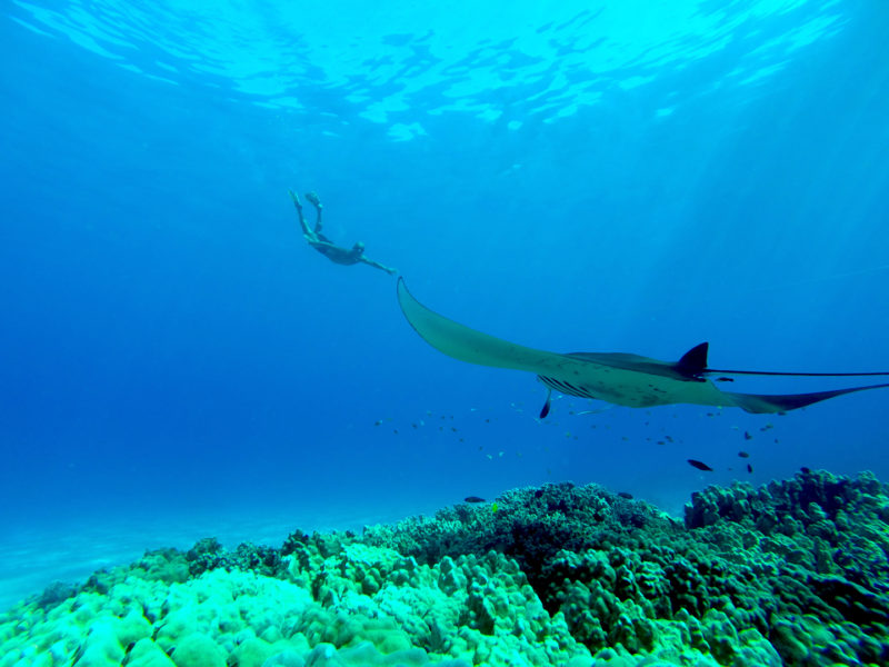 Diving with manta rays.