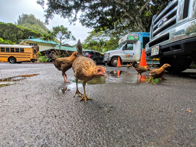 Chickens in the Waimea Valley parking lot.