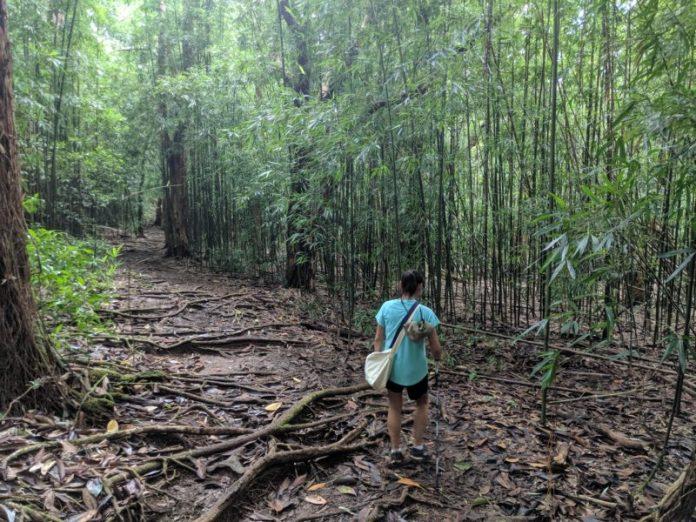 Pauoa Flats bamboo forest.
