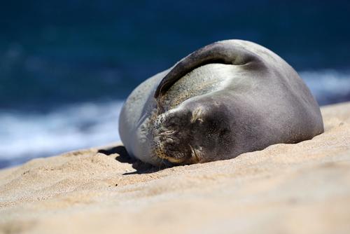 A Hawaiian monk seal on the sandy shore of Hookipa Beach on Maui.