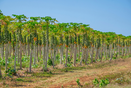 There's a never-ending supply of papayas at this Kauai farm.