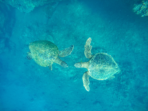 Two turtles swimming towards each other while snorkeling in Maui.