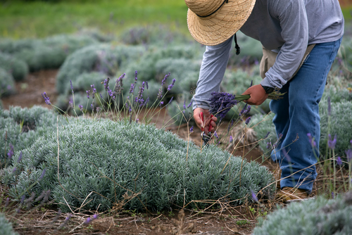 A worker harvests lavender from Alii Kula Lavender Farm in Maui.