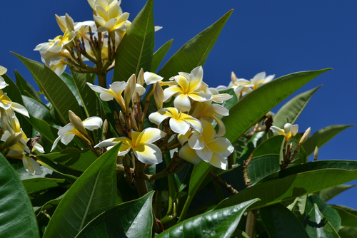 Blossoming plumeria flowers in Maui.