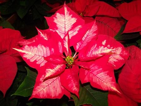 Tradition of Christmas: Poinsettias