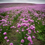 chives on Funen