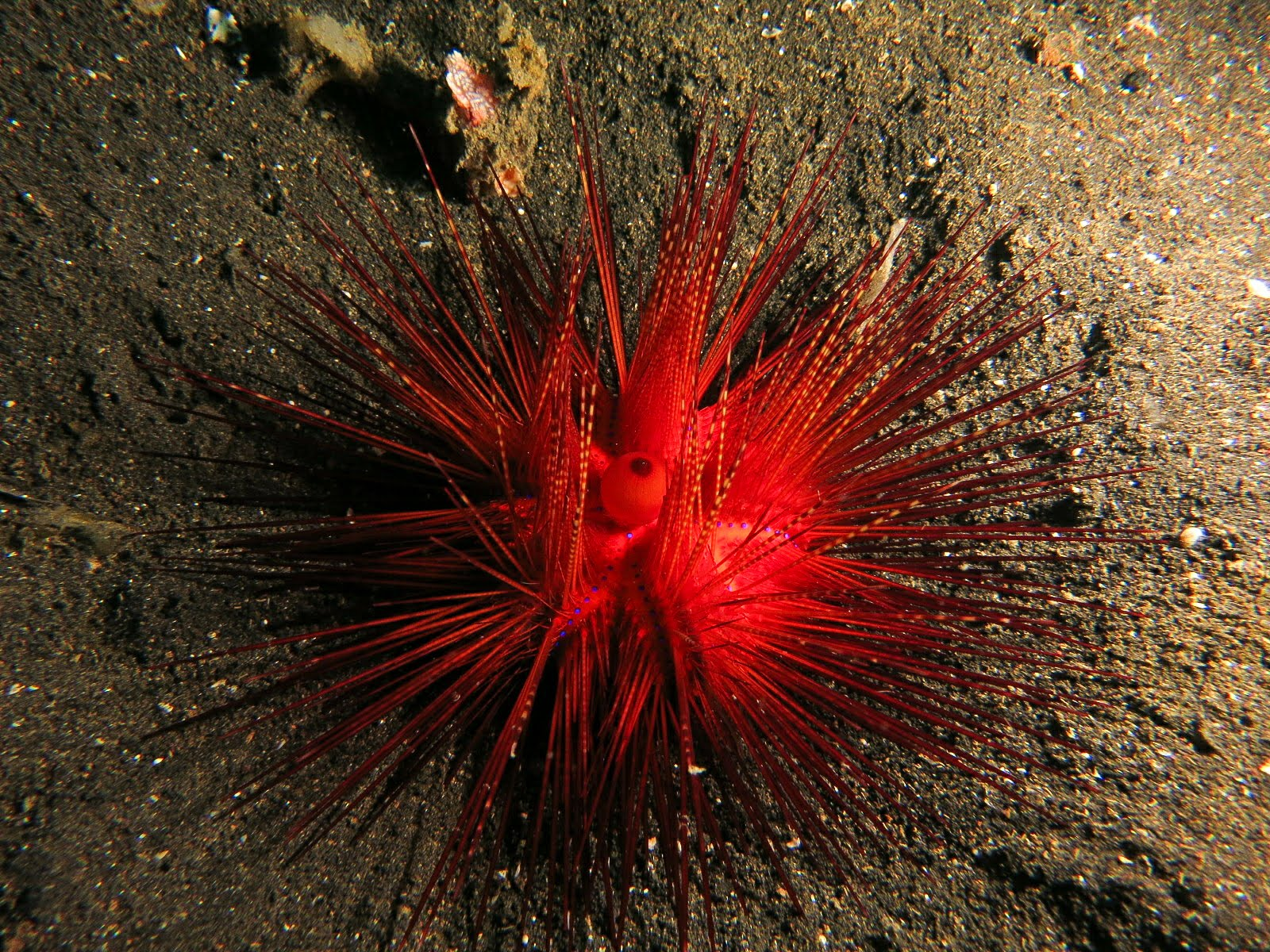 A Lovely Planet - North Sulawesi - Sarah & James - Walking fire urchin