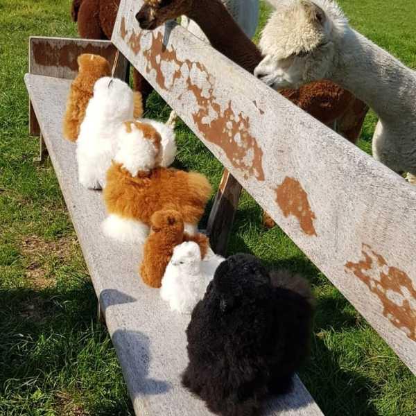 alpaca's op de bank