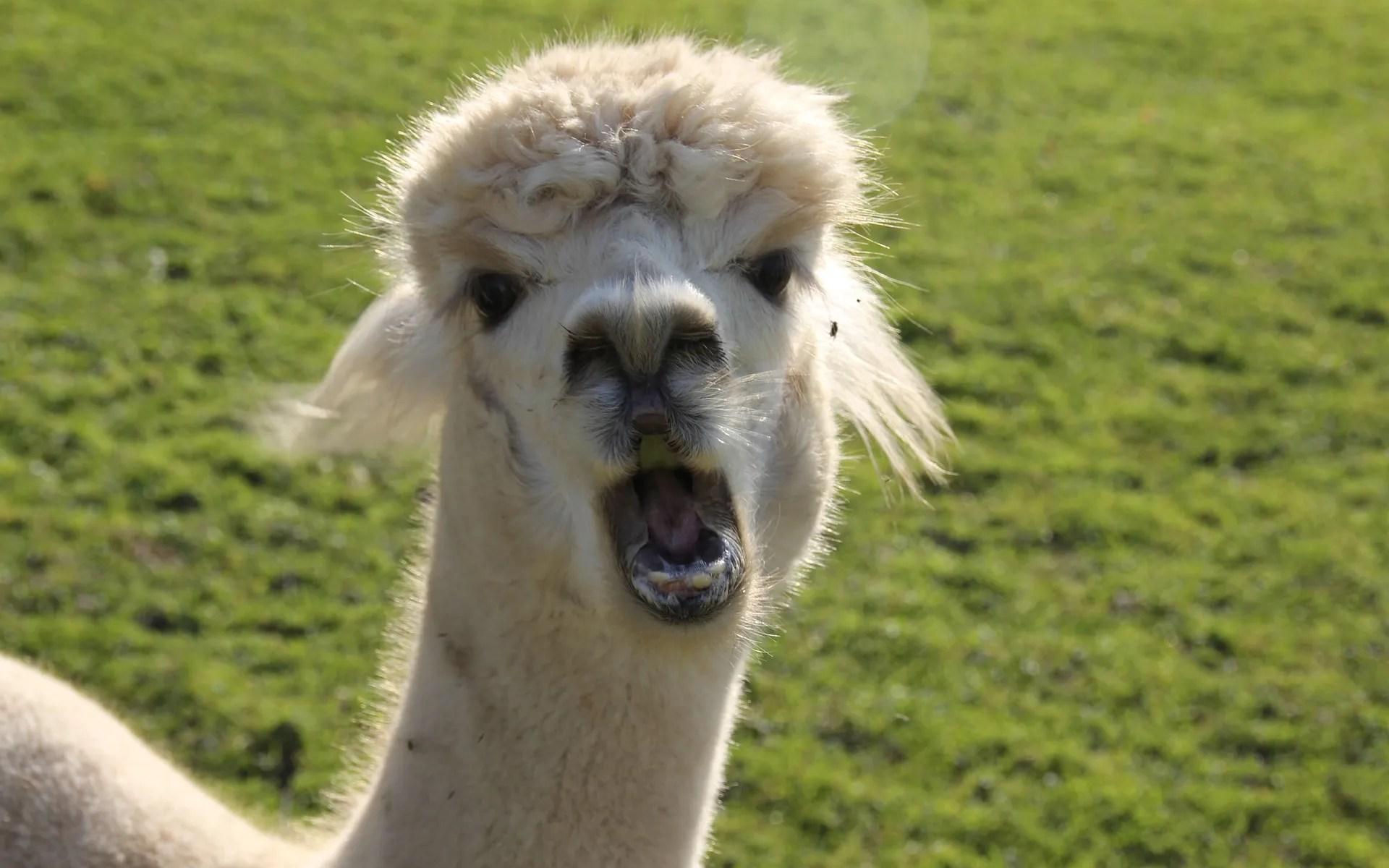 alpacas hum, do you?