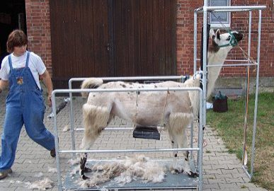 Lamaschur bei Heidi (Tierheilpraktikerin)
