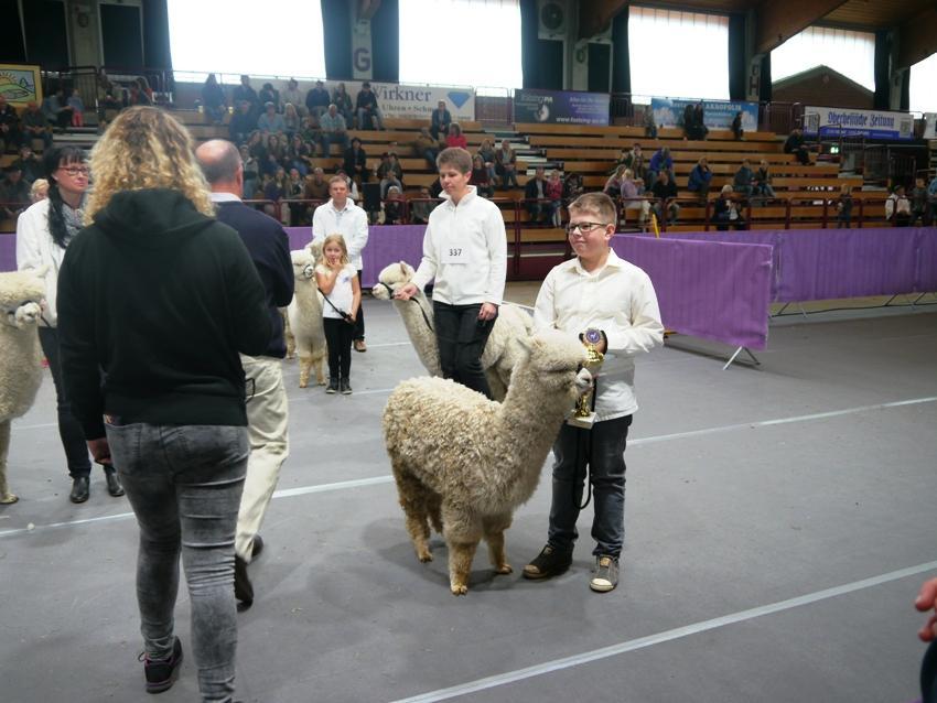 Alpakashow in Alsfeld