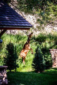 Elk Cow Eating the Tree