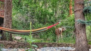 Doe Checking out the Hammock