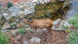 Doe having a little salad by the pond