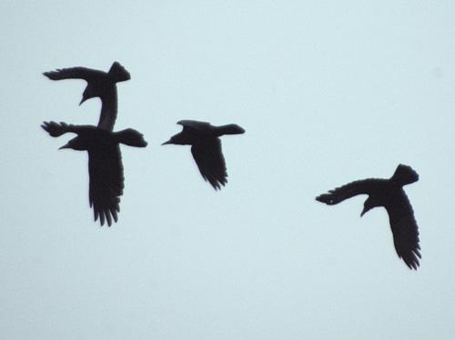 Corbeau freux (Corvus frugileus) en vol (2 couples)
