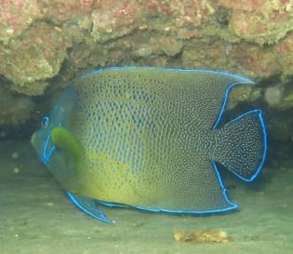 Angel fish (adult), Tangalooma wrecks