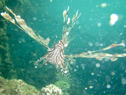 Lionfish, Tangalooma wrecks