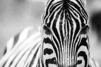 Zebra • Tanzania | Face to face with a Zebra in the Ngorongoro Crater in Tanzania.