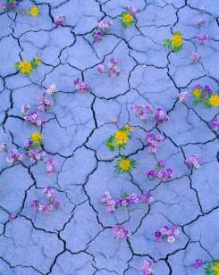 Cracked Earth & Wildflowers, Proposed San Rafael Swell BLM Wilderness Bee plant and pretty Phacelia Clome lutea and Phacelia pulchella