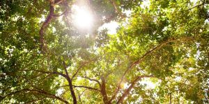 Sun shines through a large canopy of green tree leaves.