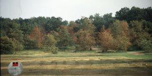 A grove of pin oaks shows signs of oak wilt.