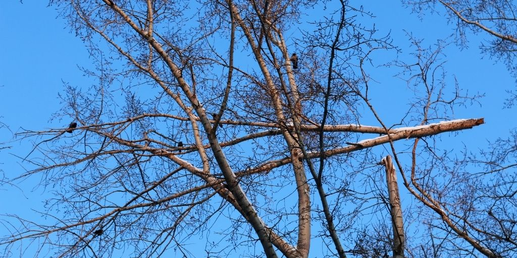 A large broken branch hangs precariously amongst other tree branches during the winter months