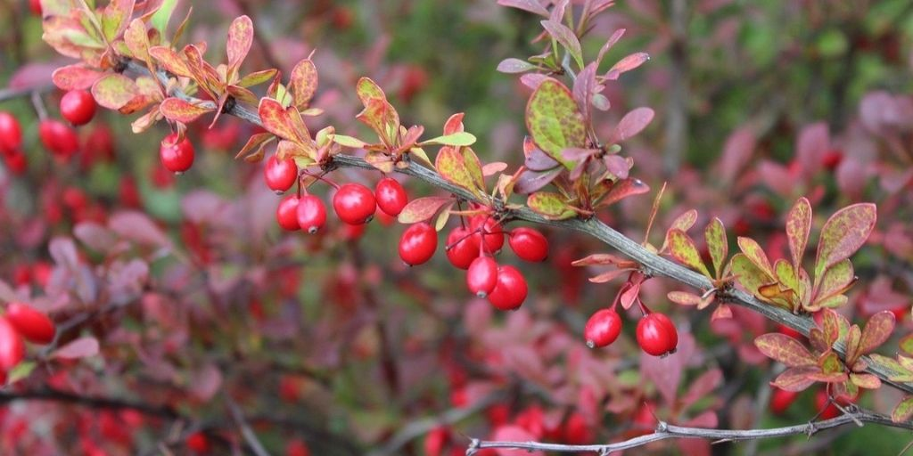 Barberry shrubs display bright red berries and red and green leaves in fall