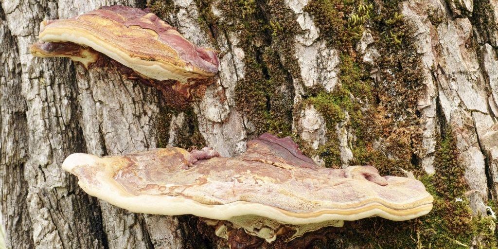 Artists Bracket on the trunk of an old poplar tree.
