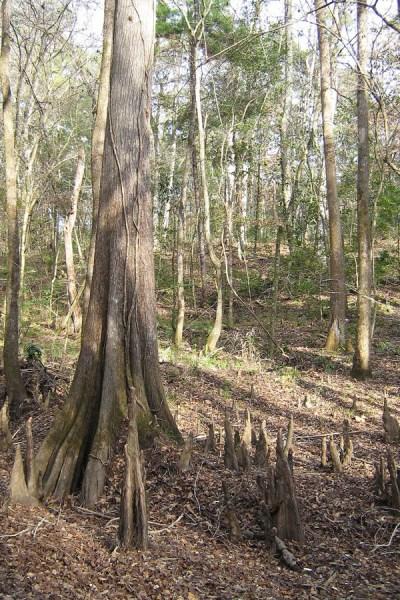 cypress tree knees