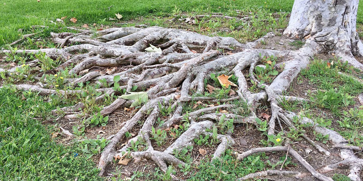 roots above ground