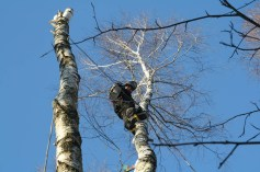 Кронирование и обрезка дерева